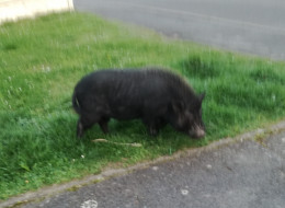 Un cochon s'échappe de son enclos