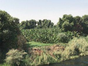 Une bananeraie au bord du Nil